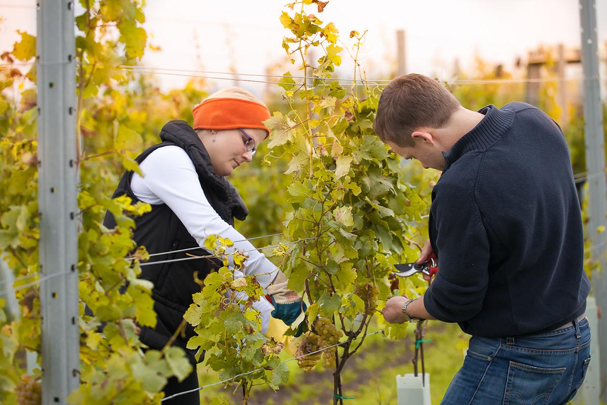 Die Weinlese erfolgt noch rein in Handarbeit